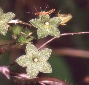 Milkweed Pearl Vine